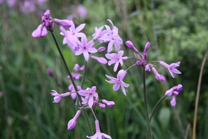 TULBAGHIA violacea Gdt9