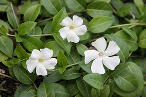 VINCA minor Alba Gdt9