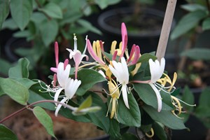 LONICERA Japonica Chinensis   Gdt9